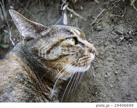 横顔猫 29406699