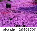 芝桜 29406705