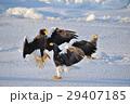 氷海に羽ばたく 29407185