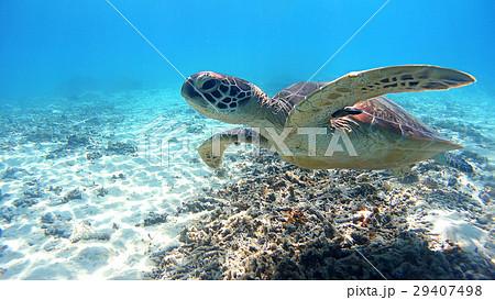 沖縄 渡嘉敷島の渡嘉志久ビーチ アオウミガメの水中写真 29407498