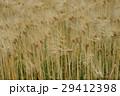 穂 麦 秋の写真 29412398