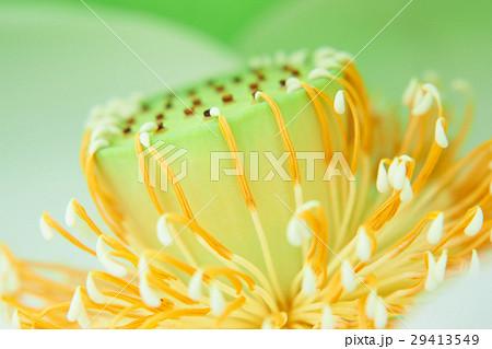 蓮の花 しべ クローズアップ 29413549