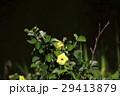 ハマボウ 浜朴 黄槿の写真 29413879
