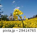北信州の菜の花、サクラと一緒 29414765
