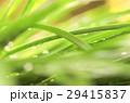 緑 自然 露の写真 29415837
