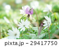 片栗 東一華 スプリングエフェメラルの写真 29417750