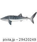 shark whale 29420249