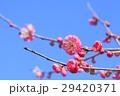 花 梅 梅の花の写真 29420371