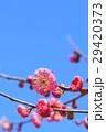 花 梅 梅の花の写真 29420373