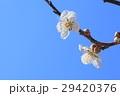 ウメの花 29420376