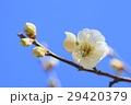 ウメの花 29420379
