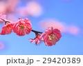 花 梅 梅の花の写真 29420389