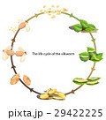 life cycle silk worm 29422225