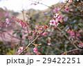 早春の河津桜 29422251