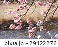 早春の河津桜 29422276
