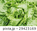 野菜 レタス 葉物野菜の写真 29423169