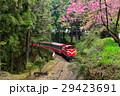 阿里山,森林小火車,櫻花 29423691
