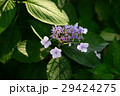 ガクアジサイ-1 29424275
