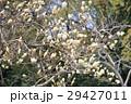 花 ハクモクレン 白色の写真 29427011