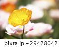 花 植物 アイスランドポピーの写真 29428042