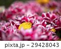 チューリップ 花 植物の写真 29428043
