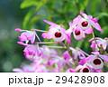 デンドロビュウム 花びら ピンクの写真 29428908