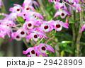 デンドロビュウム 花びら ピンクの写真 29428909