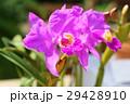 花 カトレア 花びらの写真 29428910