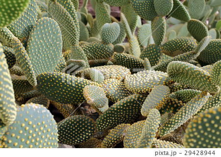 Cactus 29428944