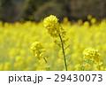 菜の花 花 植物の写真 29430073