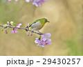 桜 河津桜 小鳥の写真 29430257
