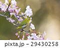 桜 河津桜 小鳥の写真 29430258