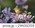 桜 河津桜 小鳥の写真 29430259