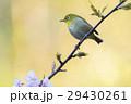 桜 河津桜 小鳥の写真 29430261