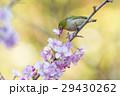桜 河津桜 小鳥の写真 29430262