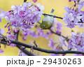 桜 河津桜 小鳥の写真 29430263