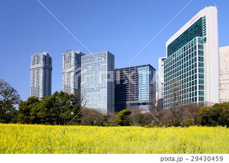菜の花の咲いた浜離宮恩賜庭園と高層ビル群 29430459