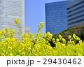 浜離宮恩賜庭園 高層ビル 菜の花の写真 29430462