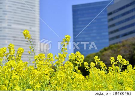菜の花と高層ビル群 29430462