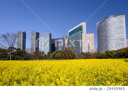 菜の花の咲いた浜離宮恩賜庭園と高層ビル群 29430463
