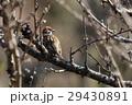 小鳥 雀 鳥の写真 29430891
