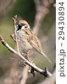 小鳥 雀 鳥の写真 29430894