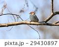 小鳥 雀 鳥の写真 29430897