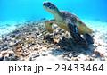 アオウミガメ ウミガメ 亀の写真 29433464