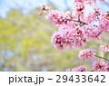 春 花 桜の写真 29433642