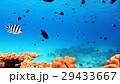 熱帯魚 魚 海水魚の写真 29433667