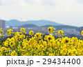 菜の花 菜の花畑 花畑の写真 29434400