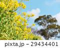 菜の花 菜の花畑 花畑の写真 29434401