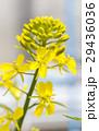 菜の花 花 セイヨウアブラナの写真 29436036