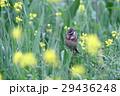 鳥 小鳥 頬赤の写真 29436248